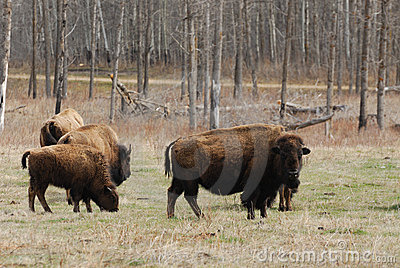 Bison on meadow
