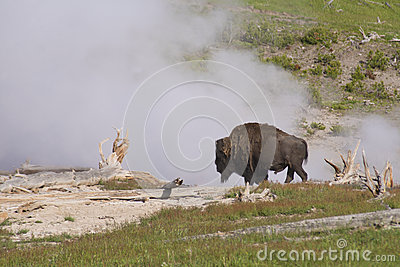 A Bison near a spewing geyser.