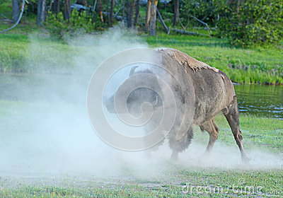 A Bison shakes his head as the dust rolls.