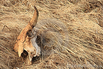 Bison Skull 2