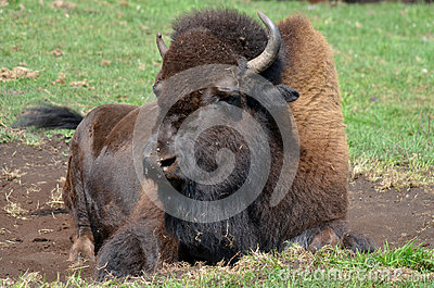 Bison Stock Photo - Im...