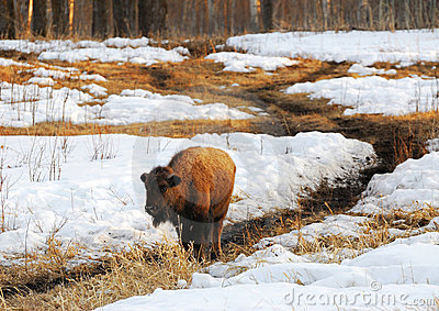 Bison wandering on snow land