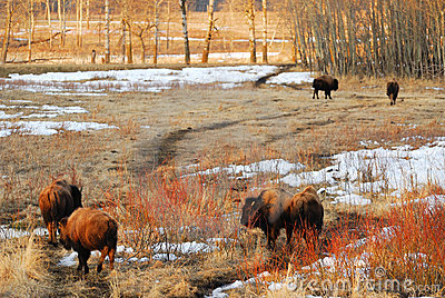 Bison on winter grass field