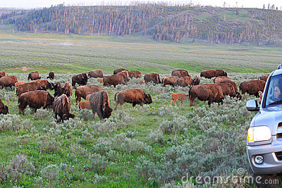 Bisons crossing road,Yellowstone Editorial Stock Photo