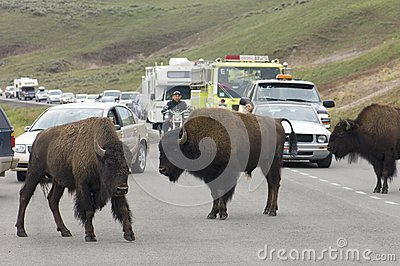 Bisons in Yellowstone Editorial Stock Photo