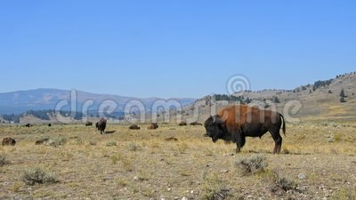 Bisonte maschio in un campo stock footage