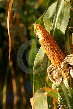 Bite off the corn