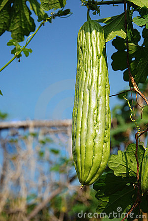 Free Bitter Gourd Royalty Free Stock Photos - 21711208