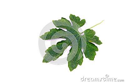 Bitter gourd leaf detail