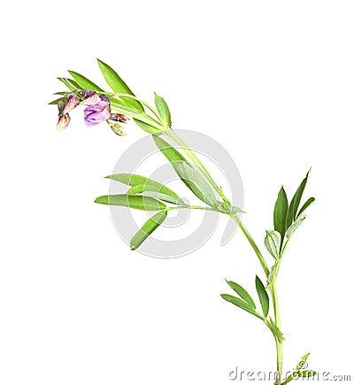 Bitter-vetch (Lathyrus linifolius)