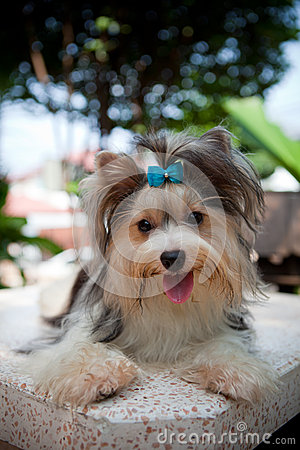 Biver yorkshire terrier dog in home