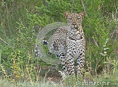 Biyamiti Leopard