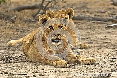 Biyamiti Lion Cubs