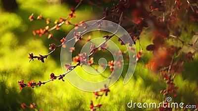 Björnbärsbuskar med små röda blad växer i vårens soliga trädgård, levande grönt gräs i suddig bakgrund stock video