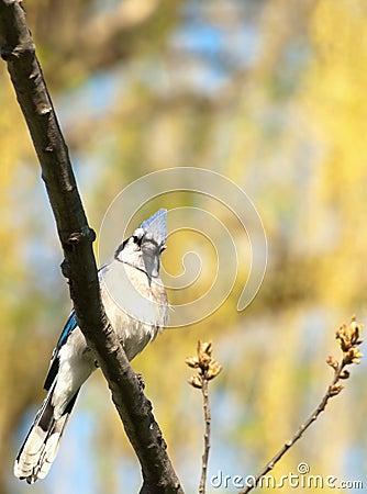 Błękitny cristata cyanocitta sójka