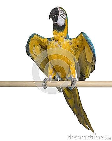 Blå macaw som perching gult barn