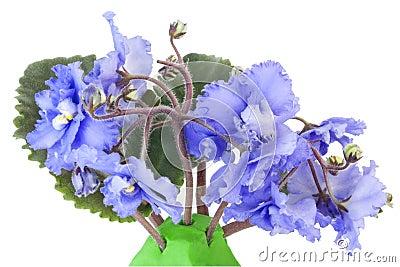 Blåa försiktiga violets