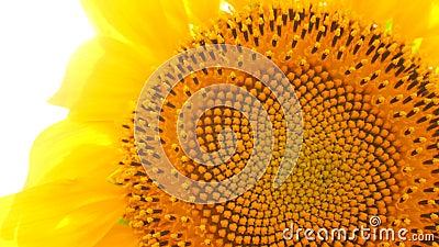 Blühende Sonnenblumen mit Sonnenlicht-Hintergrund stock video footage