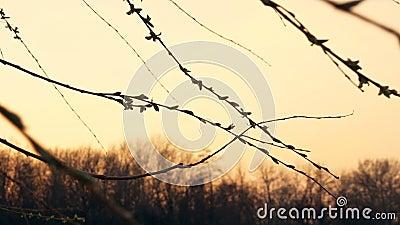 Blühende Zweige des Frühlinges bei Sonnenuntergang stock video