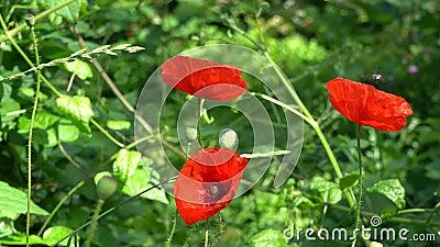 Blüte roten Mohns mit Bienen stock video footage