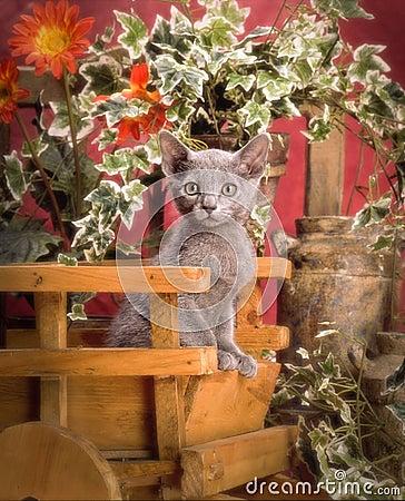 Blå kattunge för ryss