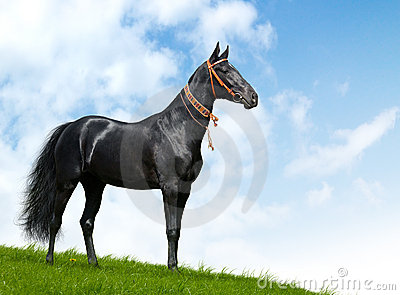 Black akhal-teke stallion - realistic photomontage