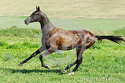 Black akhal-teke stallion run gallop