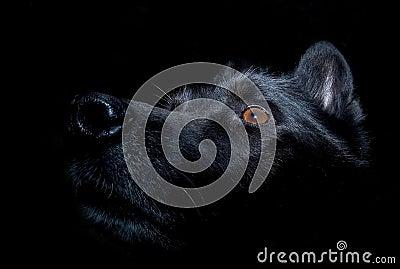 Black alsatian dog against dark background