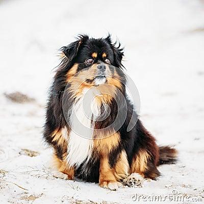 Free Black And Brown Colors Pekingese Pekinese Peke Dog Royalty Free Stock Images - 48371959