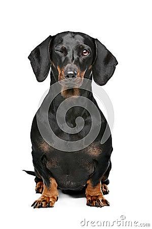 Free Black And Tan Dachshund Stock Image - 25875351