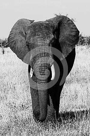 Free Black And White Elephant Stock Photography - 47608572
