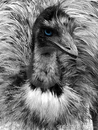 Free Black And White Emu Portrait With Blue Eye Stock Photography - 613442