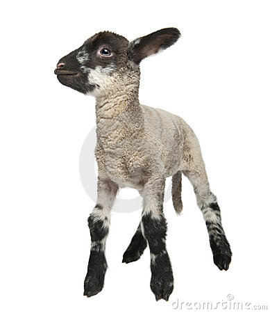 Free Black And White Lamb (15 Days Old) Stock Photography - 8718612