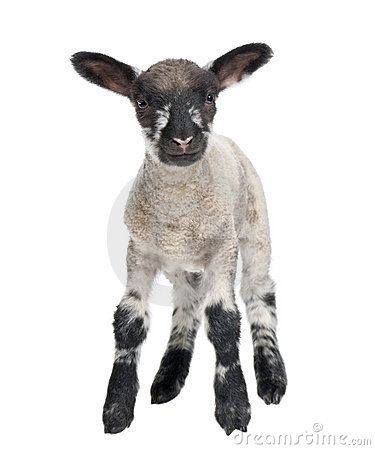 Free Black And White Lamb Facing The Camera 15 Days Old Stock Photos - 9085723