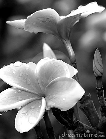 Free Black And White Plumerias Royalty Free Stock Image - 1160406