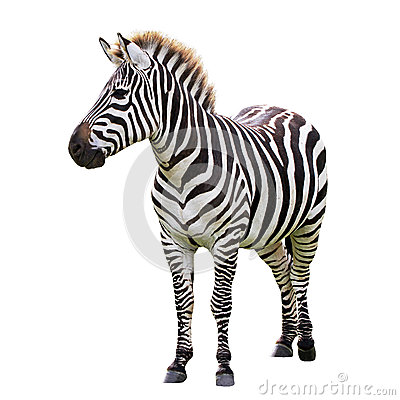 Free Black And White Zebra Stock Image - 30834971