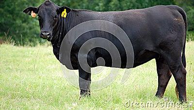 Black Angus #2