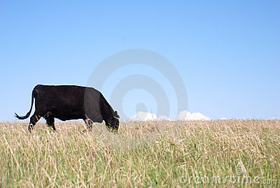 Black Angus Cow Eating Grass