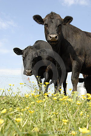Black Angus and Flowers
