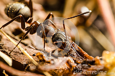 Black Ant Stock Images - Image: 26200264