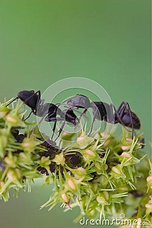 Free Black Ant Royalty Free Stock Photo - 4629165