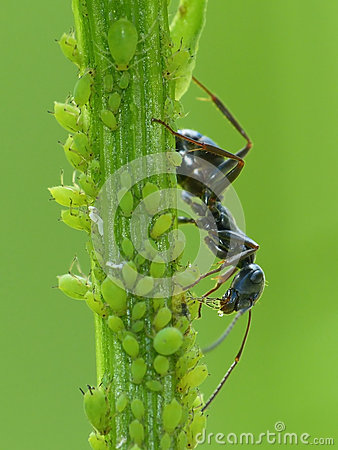 Free Black Ant Harvests Aphid S Honeydew Royalty Free Stock Photo - 73066385