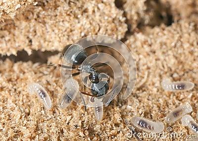 Black ant (Lasius niger) resquing larva