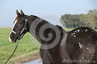 Black appaloosa mare with western halter