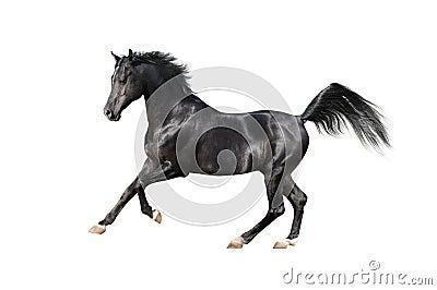Black arab horse on white