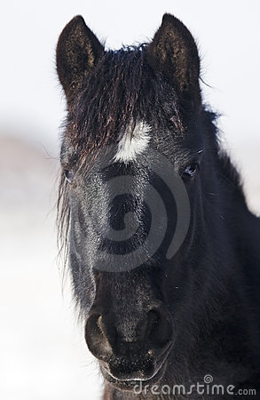 Black as coal wild mustang stallion