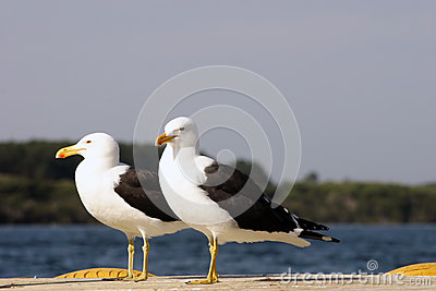 Black backed gull couple