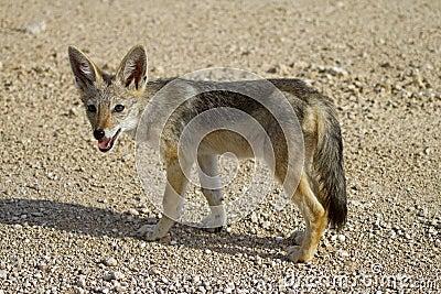 Black-backed jackal baby