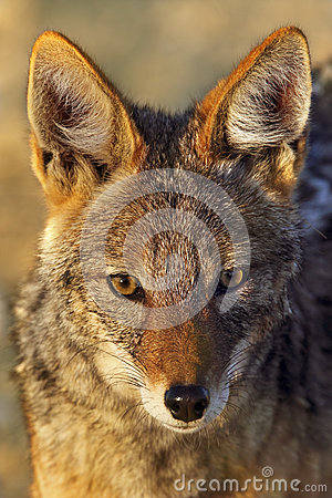 Black-Backed Jackal - Canis mesomelas