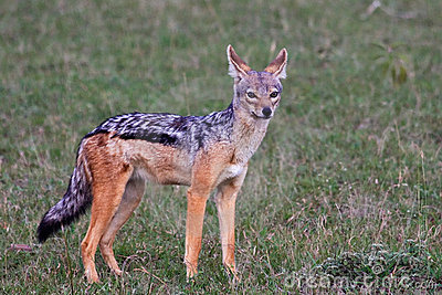 Black-backed Jackal in Tanzania